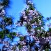 金龍桜 ④