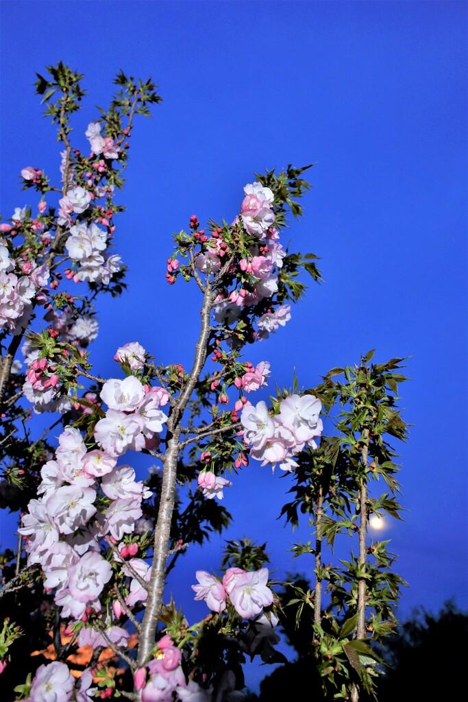 金龍桜 ②