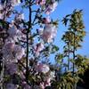 金龍桜 ①