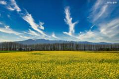 手稲山麓に黄色咲く