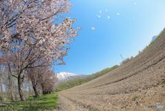 桜吹雪 真狩神社