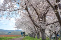 Cherry Blossom Trees Road