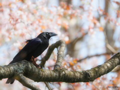 桜に悶絶・・・。