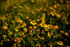 星咲くマリーゴールド