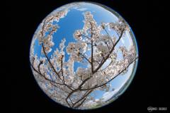 桜は青かった
