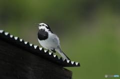 北海道のみ野鳥