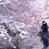 桜撮るヒト