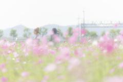 秋桜畑にて