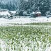 穭田に雪がつもる