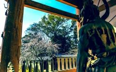 仁王さんが見つめる桜