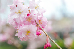 はんなり枝垂桜