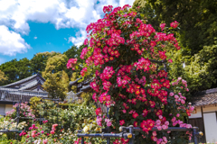 お寺のバラ