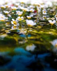 水上の梅花藻