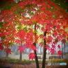 彩 -Maple-