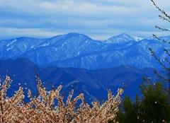 雪山と散り始めた桜