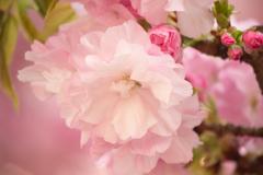 旭山桜 2