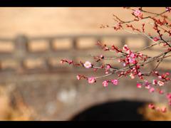 石橋と紅梅