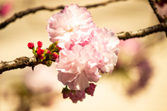 桜もはや散り始め