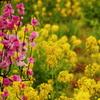 菜の花畑に咲く桃の花