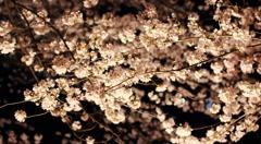 夜桜 松本城周り
