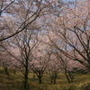 2018年今年の桜