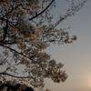 2019年の桜 3