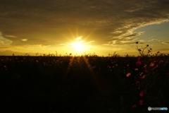 夕暮れ秋桜、また明日♪
