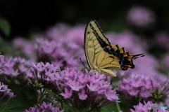 ペンタスに蝶 2