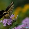 ペンタスに蝶