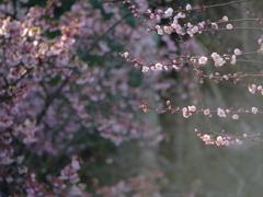 デュエット ~梅と緋寒桜~