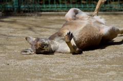 カンガルーは昼寝の時に固まる