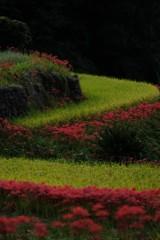 棚田の秋 4