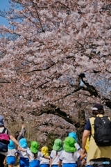 桜の花咲く公園へ 2