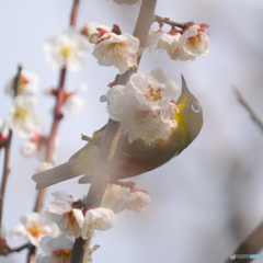 梅花に霞む