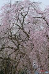 枝垂れ桜(シダレサクラ)