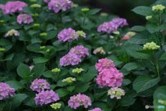 あじさい が咲く庭
