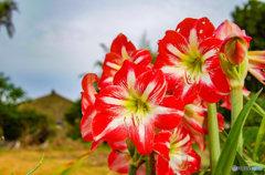 島に咲くユリと思ったらアマリリスの花
