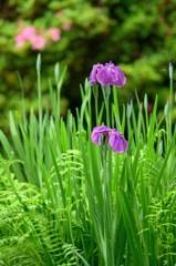 花ショウブの季節 1