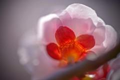 梅の花は見頃です 2