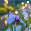 夕暮れ時の花見 3