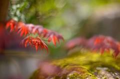 赤い若葉のモミジ