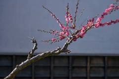春来る(熊本城) 4