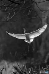 白い羽ばたき