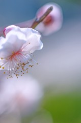 梅の花は見頃です 1