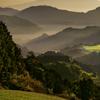 金色の茶畑