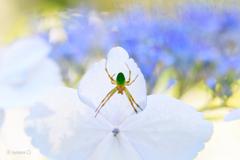 蜘蛛とアジサイ
