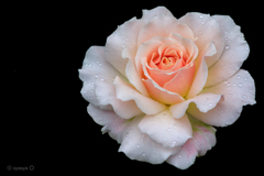 しずく薔薇