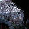 雅桜--京の桜便り 01