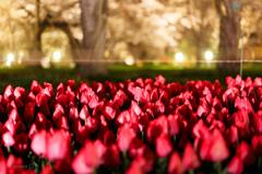☆桜とチューリップ--京の桜便り05