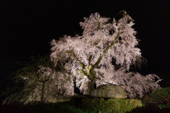 京都円山公園のしだれ桜(西面)